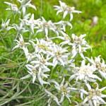 Floarea de colt de langa poarta